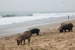 Pigs and fishermen in Cape Coast, Ghana Royalty Free Stock Image