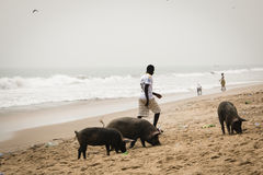 Pigs and fishermen in Cape Coast, Ghana. CAPE COAST, GHANA - JANUARY 2016: Pigs and fishermen on the beach in Cape Coast, Ghana Stock Photos