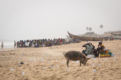 Pigs and fishermen in Cape Coast, Ghana. CAPE COAST, GHANA - JANUARY 2016: Pigs and fishermen on the beach in Cape Coast, Ghana Royalty Free Stock Photography