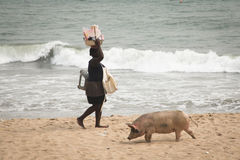 Pigs and fishermen in Cape Coast, Ghana. CAPE COAST, GHANA - JANUARY 2016: Pigs and fishermen on the beach in Cape Coast, Ghana Stock Image