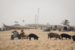 Pigs and fishermen in Cape Coast, Ghana. CAPE COAST, GHANA - JANUARY 2016: Pigs and fishermen on the beach in Cape Coast, Ghana Royalty Free Stock Image