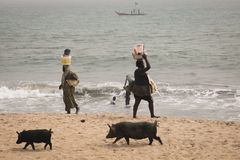 Pigs and fishermen in Cape Coast, Ghana. CAPE COAST, GHANA - JANUARY 2016: Pigs and fishermen on the beach in Cape Coast, Ghana Stock Photography