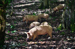 Pigs in a forest Stock Photography