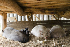 Pigs on free range farm Royalty Free Stock Photo