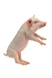 Pigs. Going on hinder legs pigs on a white background. studio royalty free stock photo