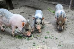 Little Vietnamese piglets on a farm. Pigs are going to eat. Small piglet waiting feed in the farm . little piglets playing outdoors royalty free stock image