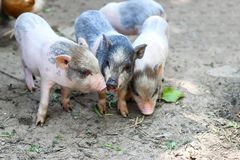 Little Vietnamese piglets on a farm. Pigs are going to eat. Small piglet waiting feed in the farm . little piglets playing outdoors stock photo