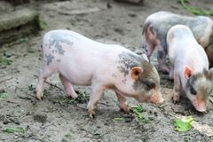 Little Vietnamese piglets on a farm. Pigs are going to eat. Small piglet waiting feed in the farm . little piglets playing outdoors stock image