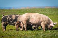 Pigs  on the grass. Pigs  on the green grass Stock Photo