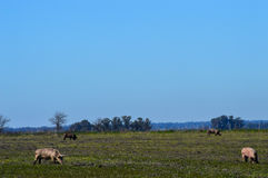 Pigs grazing. Four pigs grazing on green field farm and blue sky in background royalty free stock images
