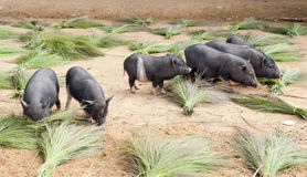 Pigs grazing through handmade brooms. Piglets graze around the piles of handmade brooms from grass in a local Laos hill tribe village Royalty Free Stock Images