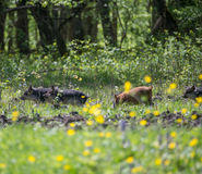 Pigs grazing in a meadow Royalty Free Stock Image