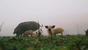 Pigs on a Green Spring Lawn stock footage