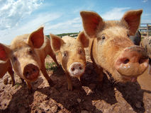 Pigs. Group of cute Pigs at Farm royalty free stock image