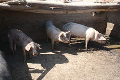 Pigs hiding in shade Royalty Free Stock Image