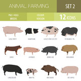 Pigs, hogs breed icon set. Flat design Royalty Free Stock Photography