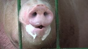 Pigs, Hogs, Swine, Farm Animals. Stock video of a pig or pigs stock footage
