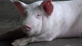 Pigs, Hogs, Swine, Farm Animals. Stock video of a pig or pigs stock video footage
