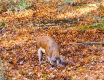 Pigs hunt for food in a stream in the New Forest. A pig hunts for food in a stream in the New Forest Royalty Free Stock Photos