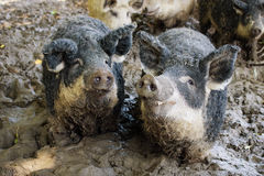 Pigs i mud royaltyfri foto