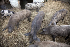 Pigs In A Farm Royalty Free Stock Images