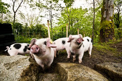 Pigs In Muck Royalty Free Stock Photography