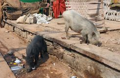 Pigs in India Royalty Free Stock Photography