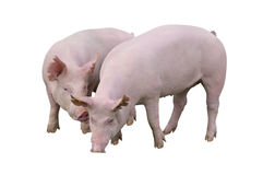 Pigs isolated on white royalty free stock image