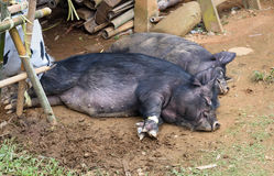 Pigs lay on the ground in a funeral ceremony in Tana Toraja Royalty Free Stock Image