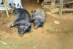 Pigs lay on the ground in a funeral ceremony in Tana Toraja Stock Photo