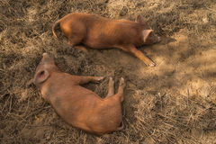 Pigs laying on farm Stock Photography