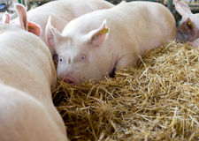 Pigs laying on hay Stock Photo