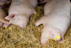 Pigs laying on hay Royalty Free Stock Images