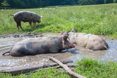 Pigs lie in a mud puddle. Pigs are happy. Farm life royalty free stock images