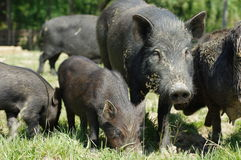 Pigs little black 3 Royalty Free Stock Photos