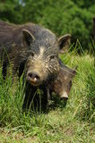 Pigs little black 2 Royalty Free Stock Photography