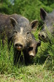 Pigs little black Royalty Free Stock Photography