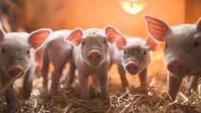 Pigs on livestock farm. Pig farming. Piglets sucking mothers milk. Agriculture background stock video