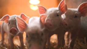 Pigs on livestock farm. Pig farming stock footage