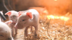 Pigs on livestock farm. Pig farming. Piglets sucking mothers milk. Agriculture background stock footage