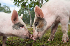 Pigs in love. A couple of pigs on a farm in Norway Stock Photo