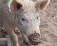 Pigs love mud Stock Images