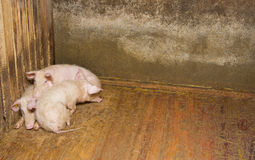 Pigs lying on the floor Stock Photography