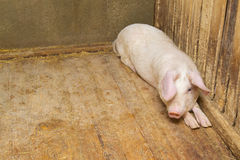 Pigs lying on the floor Royalty Free Stock Photos