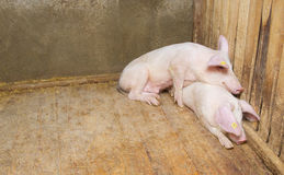 Pigs lying on the floor Stock Image