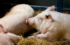 Pigs lying in pen Royalty Free Stock Photo