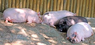 Pigs lying wearily on the mud Stock Photos