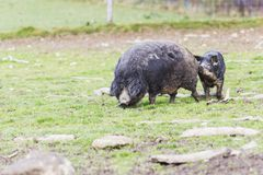 Pigs of the mangalica breed. In the field Stock Images