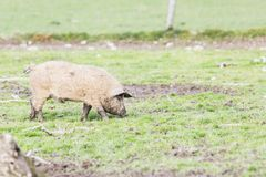Pigs of the mangalica breed. In the field Stock Photography