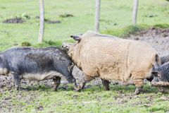 Pigs of the mangalica breed. In the field Royalty Free Stock Photo